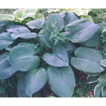 Hosta'Blue Umbrellas'