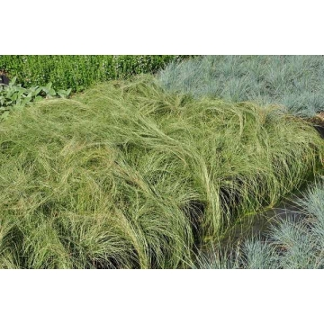 Carex comans'Frosted Curls'