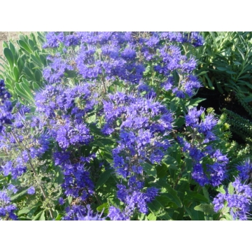 Caryopteris clandonensis'Grand Blue'