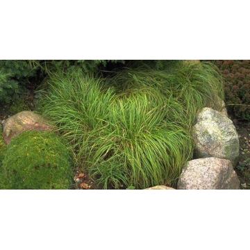 Carex carypophyllea'The Beatles'