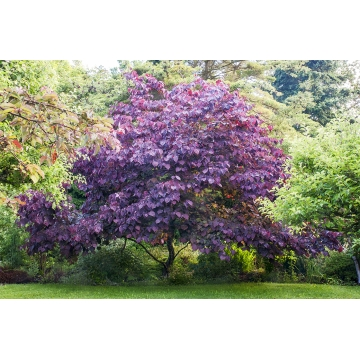 Cercis canadensis'Forest Pansy'