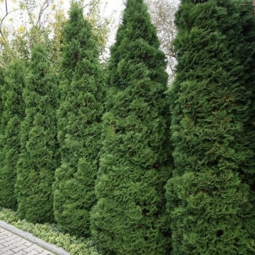 Thuja occidentalis'Holmstrup'