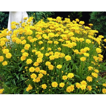 Coreopsis grandiflora'Early Sunrise'