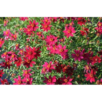 Coreopsis rosea'Ruby Red'
