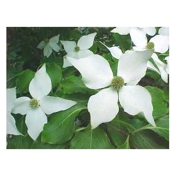 Cornus kousa'China Girl'