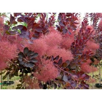 Cotinus coggygria'Royal Purple'