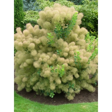 Cotinus coggygria'Young Lady'