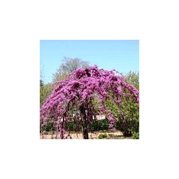 Cercis canadensis'Covey'