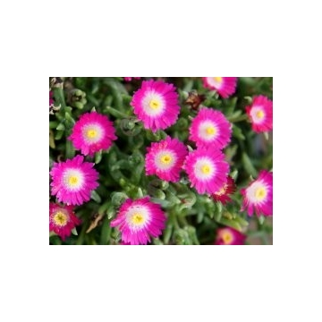 Delosperma'Jewel Amathist'