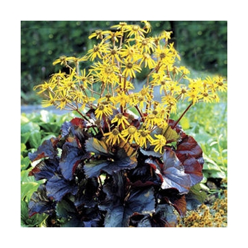 Ligularia dentata'Britt-Marie Crawford'