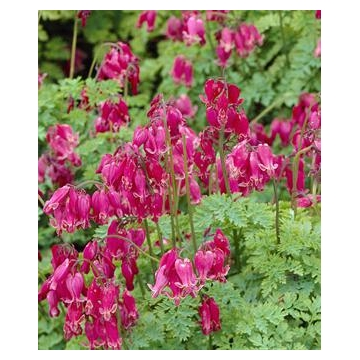 Dicentra formosa'Adrian Bloom'