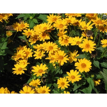 Heliopsis helianthoides'Tuscan Sun'