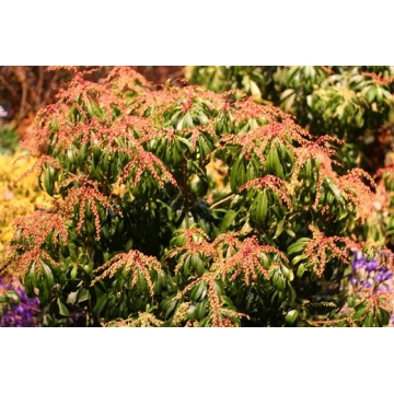 Pieris japonica'Red Mill'