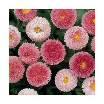 Bellis perennis rose
