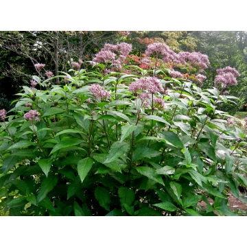 Eupatorium dubium'Little Joe'