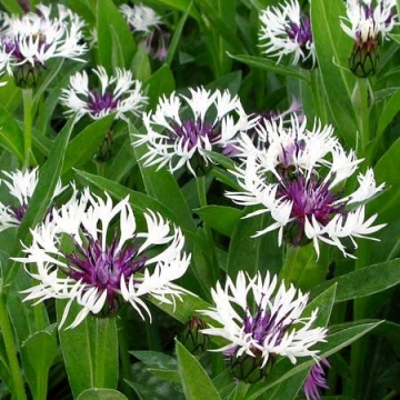 Centaurea montana'Purple Heart'