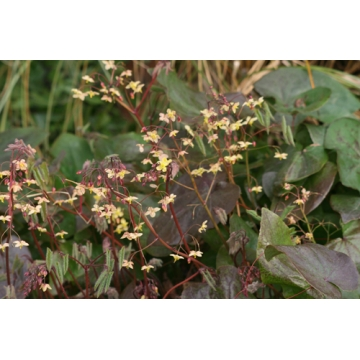 Epimedium pinnatum'Black Sea'