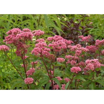 Eupatorium cannabinum'Plenum'