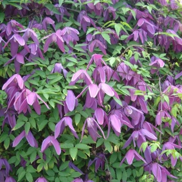 Clematis alpina'Tage Lundell'