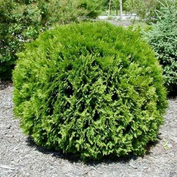 Thuja occidentalis'Little Giant'