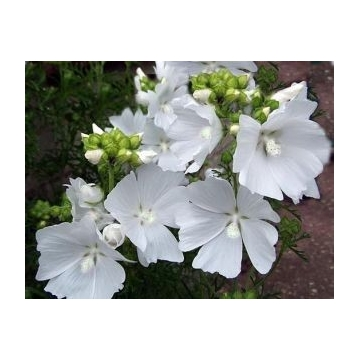 Lavatera'Ice Cool'