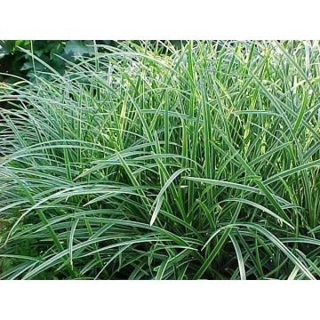 Carex morrowii'Ice Dance'