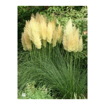 Cortaderia selloana'Golden Goblin'