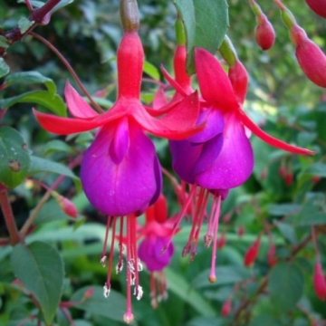 Fuchsia'Mrs.Popple'