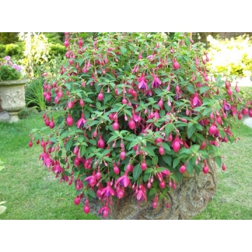 Fuchsia'Tom Thumb'
