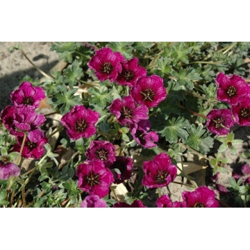 Geranium cinereum'Purple Pillow'