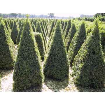 Buxus sempervirens pyramide