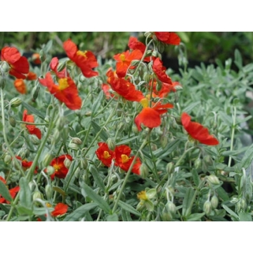 Helianthemum hybride'Henfield Brilliant'