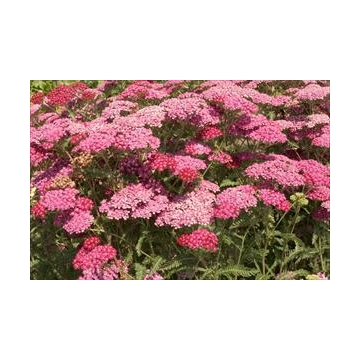 Achillea millefolium'Red Beauty'