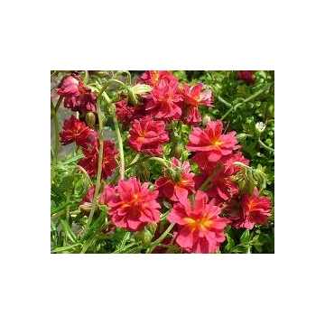 Helianthemum hybride'Cerise Queen'