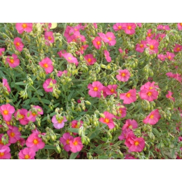 Helianthemum hybride'Ben Hope'