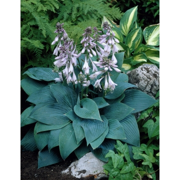 Hosta hybride'Halycon'