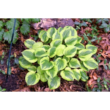 Hosta hybride'Golden Tiara'