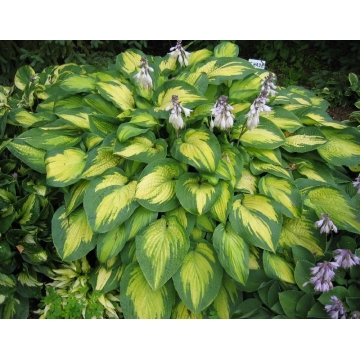 Hosta'Paul's Glory'