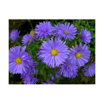 Aster dumoses'Early Blue