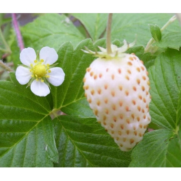 Fragaria'Pineberry'
