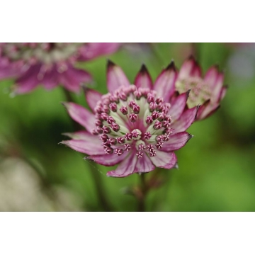 Astrantia major'Burgundy Manor'