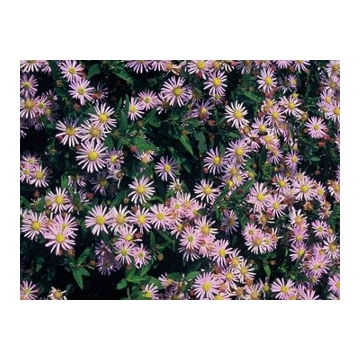 Aster ageratoides'Stardust'