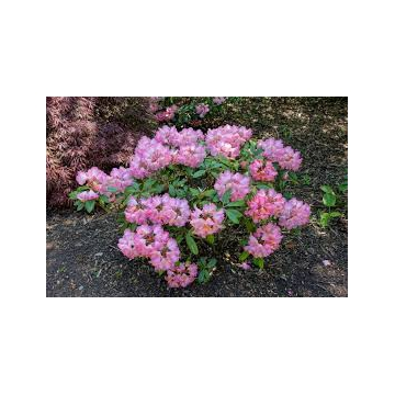 Rhododendron'Edelweiss