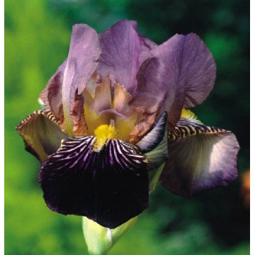 Iris germanica'Bruno'