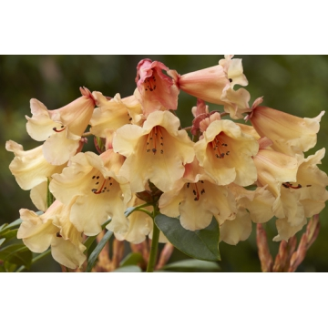 Rhododendron'Jingle Bell'