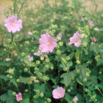 Lavatera'Candy Floss'