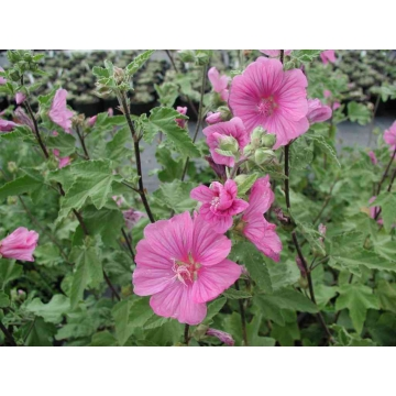 lavatera'Burgundy Wine'