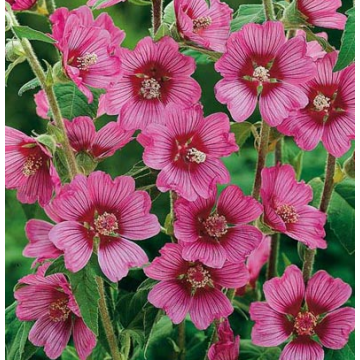 Lavatera'Eye Catcher'