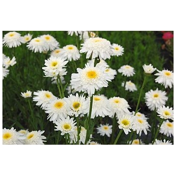 Leucanthemum maximum'Wirral Supreme'