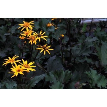 Ligularia'Osiris Cafe Noir'